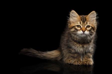 Tabby Siberian kitten sitting and sad looking at camera on isolated black background, front view Stock Photo