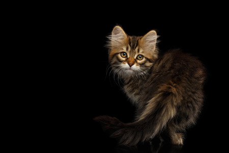 Playful Tabby Siberian kitten standing and looking back on isolated black background, side view Stock Photo - 86193215