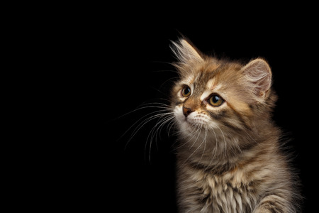 Close-up Portrait of Brown Tabby Siberian kitten looking at side on isolated black background, front view Stock Photo