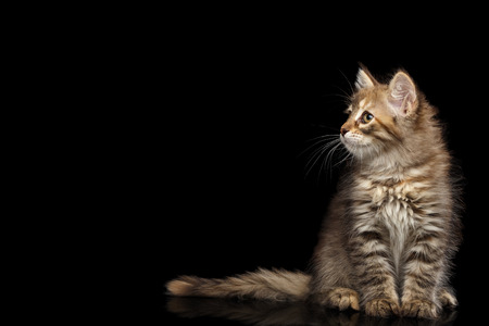 平織りシベリア子猫応接スペースと分離黒い背景、正面と側面を見る