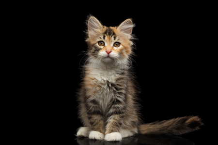 Three colored Tabby Siberian kitten sitting and looking at camera on isolated black background, front view Stock Photo