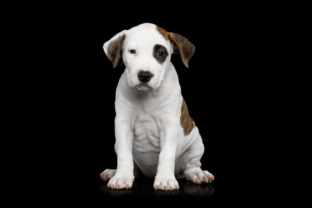 American Staffordshire Terrier Puppy Sitting and Looking in Camera on Isolated Black background, front view