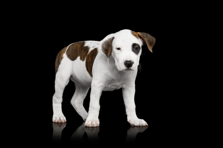 American Staffordshire Terrier Puppy Standing on Isolated Black background, Front view Фото со стока