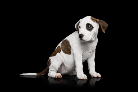 American Staffordshire Terrier Puppy Sitting on Isolated Black background, Side view Фото со стока