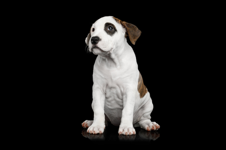 American Staffordshire Terrier Puppy Sitting on Isolated Black background, front view