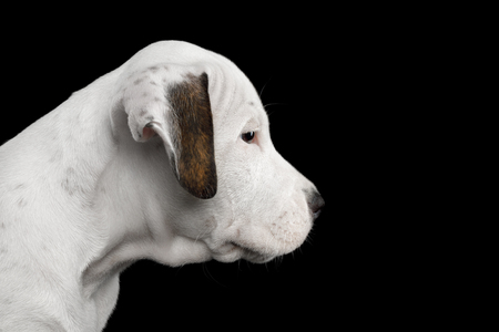 Close-up Portrait of an American Staffordshire Terrier Puppy, on Isolated Black background, profile view Stock fotó
