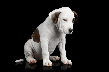 American Staffordshire Terrier Puppy Sitting and Looks Sad on Isolated Black background, front view Фото со стока