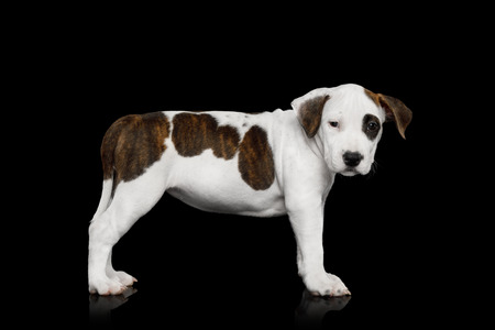 American Staffordshire Terrier Puppy Standing on Isolated Black background, Side view Stock fotó