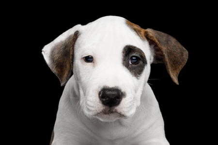 Close-up Portrait of an American Staffordshire Terrier Puppy, looking at camera on Isolated Black background, front view