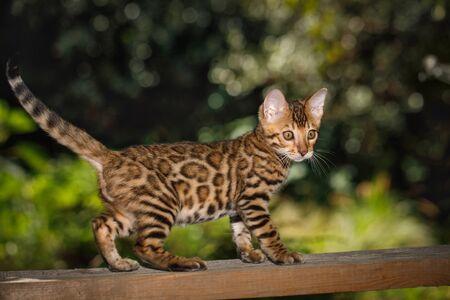 벵골 새끼 고양이 야외 사냥, 판자, 자연 녹색 배경에 걸어