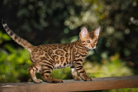 head stones: Bengal kitten Hunting outdoor, Walk on plank, nature green background Stock Photo