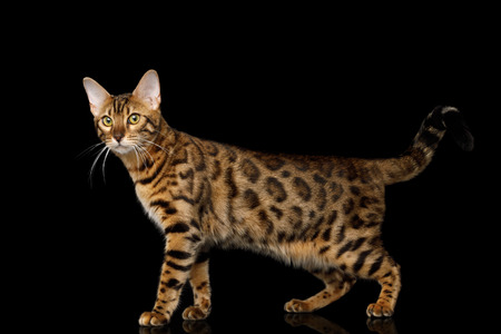 Playful Gold Bengal Cat Standing and Looking Curious in Camera on isolated Black Background with reflection, Side view Stock fotó