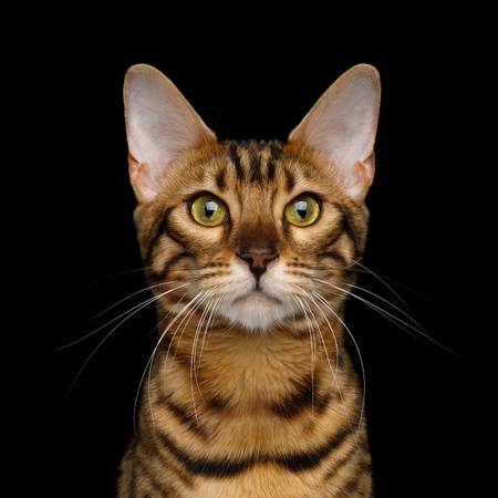 Portrait of Gold Bengal Cat isolated Black Background, front view Stock Photo