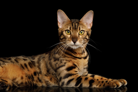 Playful Gold Bengal Cat Lying and Looking Curious in Camera on isolated Black Background with reflection, Side view