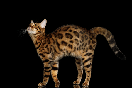 Playful Gold Bengal Cat Standing and stretched up up on isolated Black Background with reflection, Side view