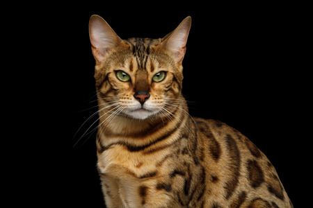 Portrait of Angry Gold Bengal Cat Gazing on isolated Black Background, front view
