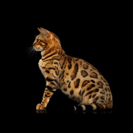 Gouden Bengalen Cat Sitting op geïsoleerde Zwarte Achtergrond, zijaanzicht