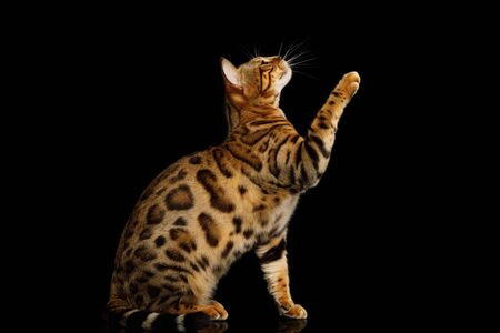 Gold Bengal Cat Sitting and raising paw isolated Black Background, side view