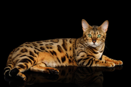 Gold Bengal Cat Lying on isolated Black Background Stock fotó