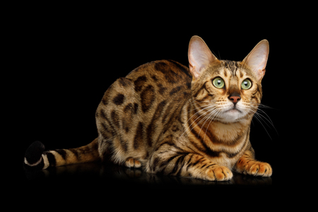 Cute Gold Bengal Cat Lying on isolated Black Background, front view