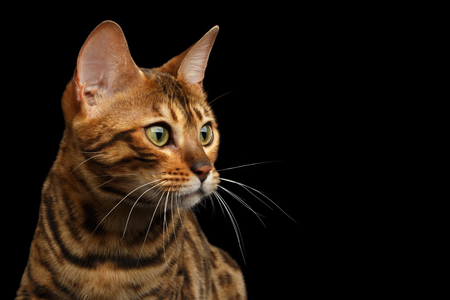 Portrait of Bengal Cat, Looking at side, on isolated Black Background, profile view