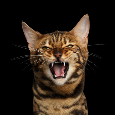 Portrait of Angry Bengal Cat Meowing on isolated Black Background, front view Banco de Imagens