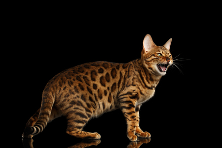 Angry Bengal Cat standing and Meowing on isolated Black Background, side view