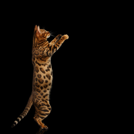 Gold Bengal Cat Standing Rearing up and hold paws, on isolated Black Background, side view