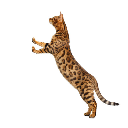 Gold Bengal Cat Standing Rearing up on support and Looking up, on isolated White Background, side view Stock fotó