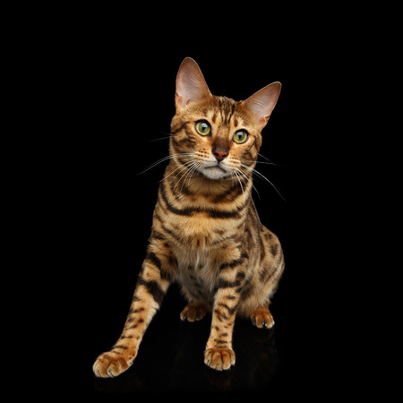 Gold Bengal Cat Sitting on isolated Black Background, front view