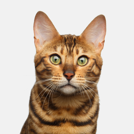 Portrait of Bengal Cat, Looking at camera, on isolated White Background, front view
