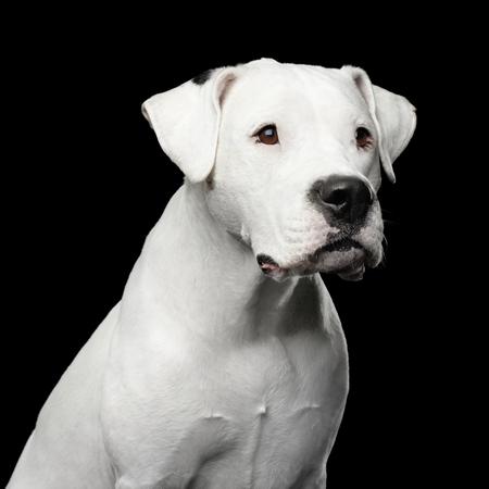 Portrait of White Dogo Argentino Dog Isolated on Black Background