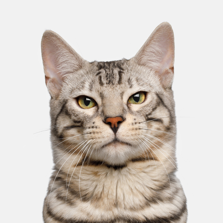 Portrait of Snow Bengal Cat, Proud face on isolated on White Background, Front view 스톡 콘텐츠