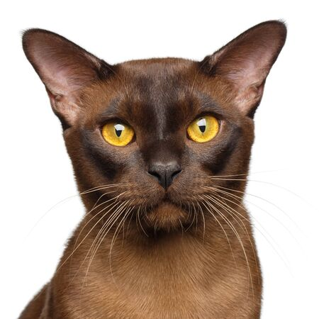 Portrait of Sable Burmese Cat Curious Gazing in camera isolated on white background, front view Reklamní fotografie