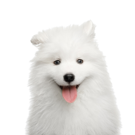 Portrait of Happy Samoyed Puppy isolated on White background, front view Stock fotó - 90139121