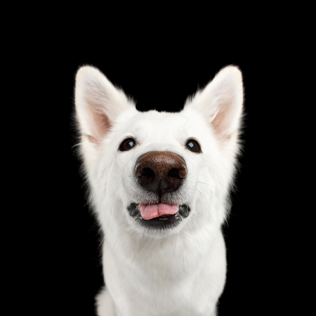 Funny Portrait of White Swiss Shepherd Dog Showing tongue on Isolated Black Background, front view