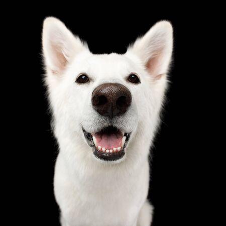 Portrait of White Swiss Shepherd Dog Looks Happy on Isolated Black Background, front view Reklamní fotografie