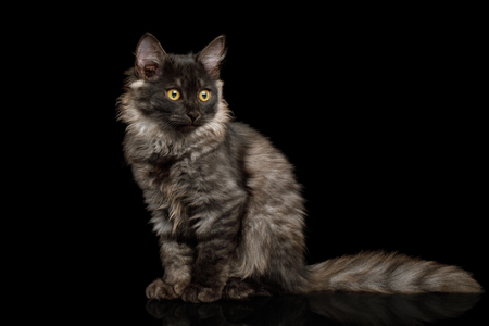 Brown Kitten with tortoise fur Sitting on isolated background, front view