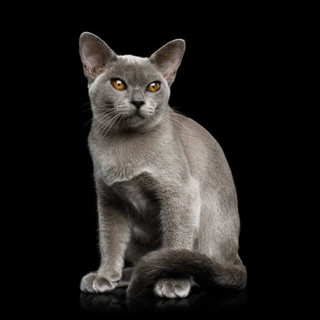 Adorable Blue Burmese Cat with unusual eyes Sitting on isolated on black background, front view Imagens