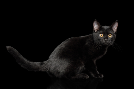 Black Kitten Sitting with shine fur on isolated background, side view