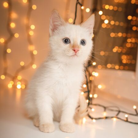 Cute Kitten with color-point fur and blue eyes sitting on blur light background, new year garland