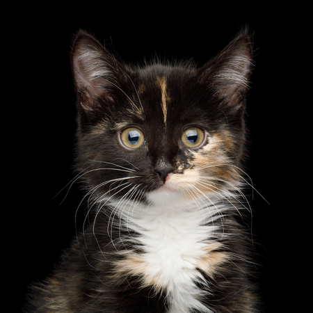 Portrait of Cute Kitten with tortoise fur on isolated background, front view Stock Photo