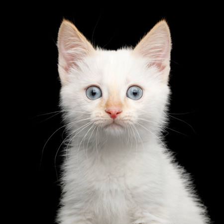 Portrait of Cute Kitten with color-poin fur and blue eyes on isolated background, front view