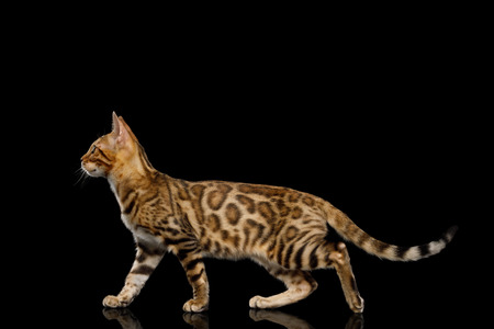 Bengal Kitten with gold Fur Walking on isolated on Black Background with reflection, side view Stock fotó