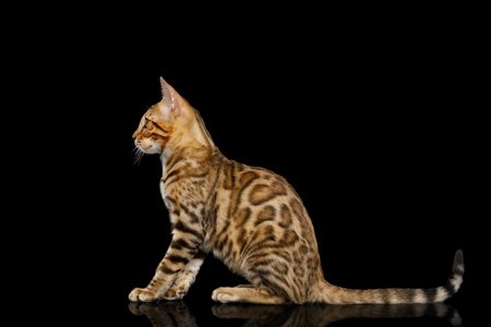 Bengal Kitten with gold Fur Sitting on isolated on Black Background with reflection, side view