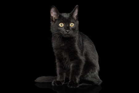 Black Kitten Sitting with shine fur on isolated background, front view