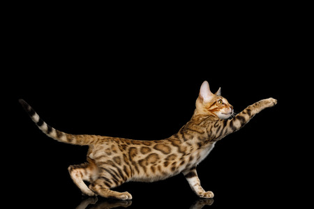 Playful Bengal Kitten, gold Fur Stretched paw, on isolated on Black Background with reflection