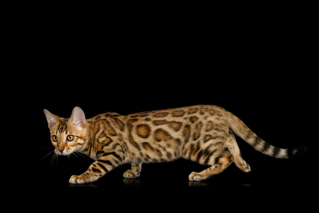 Playful Bengal Kitten, gold Fur Crouching, on isolated on Black Background with reflection
