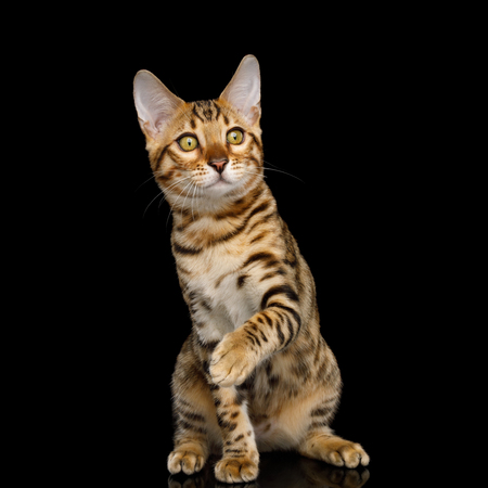 Playful Bengal Kitten with gold Fur Sitting on isolated on Black Background with reflection, front view Stock fotó