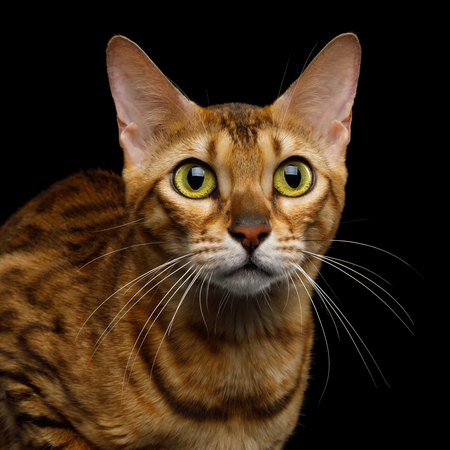 Portrait of Adorable Bengal Cat with Huge eyes on isolated on Black Background, front view